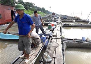 Thuần dưỡng cá quý trên sông Đà