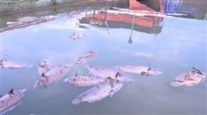 Thanh Thủy: Sông Đà cạn nước, cá lồng chết hàng loạt