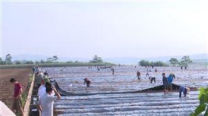Thanh Thủy: Hiệu quả bước đầu mô hình sản xuất cây dược liệu ở xã Đồng Trung