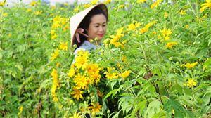 Ngắm hoa Dã Quỳ bên Sông Đà