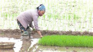 Sơn Thủy đẩy mạnh gieo cấy lúa vụ Chiêm Xuân 2021