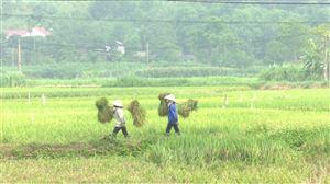 Gặt lúa giúp các gia đình F1, F2 trong thời gian cách ly y tế