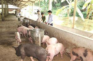 Thanh Thủy: Hướng tới nền chăn nuôi theo quy mô trang trại