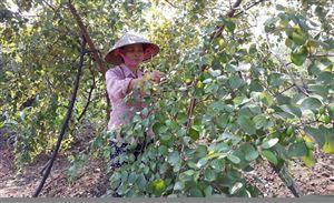 Thanh Thủy phát triển cây ăn quả theo hướng sản xuất hàng hóa