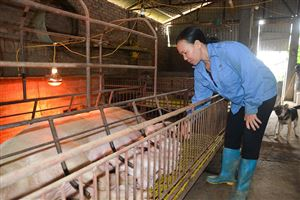 Thực hiện nhiều giải pháp ngăn chặn dịch tả lợn châu Phi