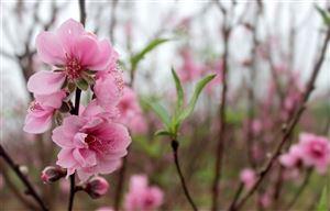 hoa đào rực rỡ khoe sắc, mag không khí tết đến xuân về