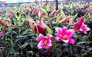 lang hoa Phương vien  tan phuong